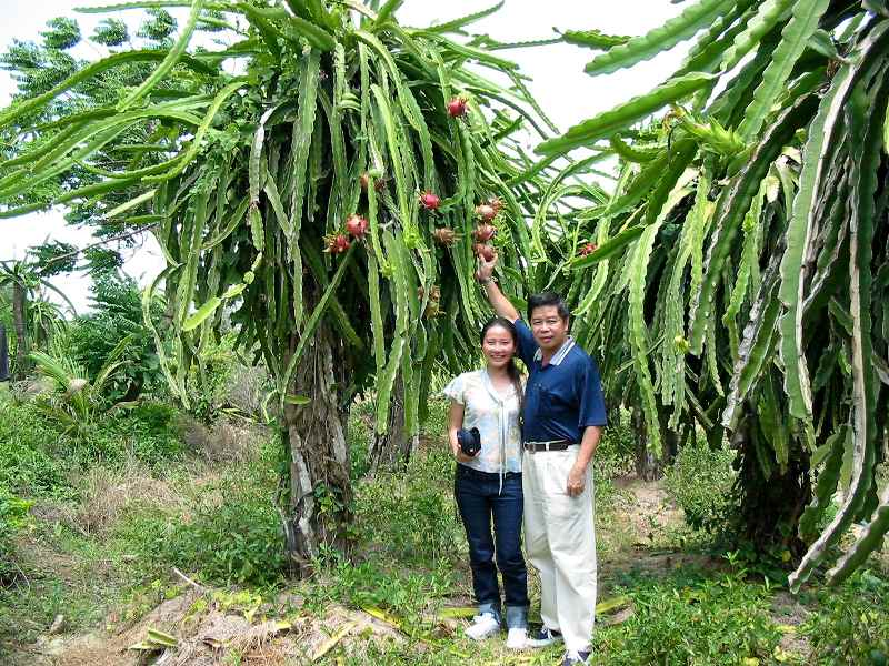 how to grow red dragon fruit
